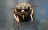 Stor fäbroms (Tabanus sudeticus)