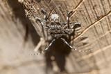 Spindelbock (Aegomorphus clavipes)