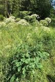 Spenört (Laserpitium latifolium)