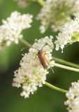 Smalblombock (Alosterna tabacicolor)