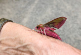 Större snabelsvärmare (Deilephila elpenor)