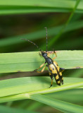 Fläckig blombock (Rutpela maculata)
