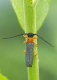 Videsmalbock (Oberea oculata)