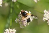 Fönsterblomfluga (Volucella pellucens)