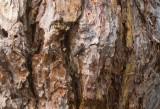 Reliktbock (Nothorhina muricata)
