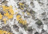 Svart slavmyra (Formica fusca)