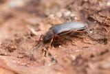 Raggbock (Tragosoma depsarium)