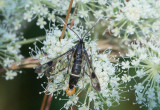 Dolkstekelsglasvinge (Synanthedon scoliaeformis)