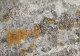 Grön aspvedbock (Saperda perforata)