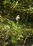 Vattenblink (Hottonia palustris)