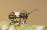 Lövkvistbock (Pogonocherus hispidulus)