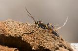 Brokparasitstekel (Ichneumon suspiciosus)