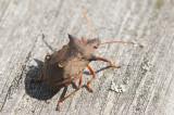 Spetsrovbärfis (Picromerus bidens)