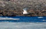 Sabine's Gull (Xema sabini)