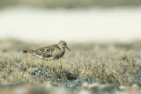 Buff-breasted Sandpiper (Calidris subruficollis)