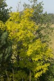Ask (Fraxinus excelsior)