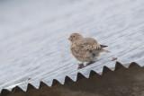 Mongolian Finch (Bucanetes mongolicus)