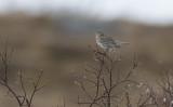 Meadow Pipit (Anthus pratensis)