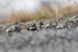 Common Ringed Plover (Charadrius hiaticula)