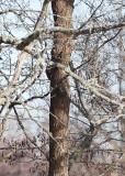 White-backed Woodpecker (Dendrocopos leucotos)