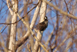 Lesser Spotted Woodpecker (Dryobates minor)