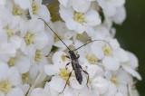 Apelbock (Molorchus umbellatarum)