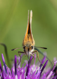 Mindre tåtelsmygare (Thymelicus lineola)