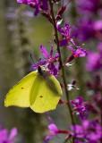 Butterflies in Sweden