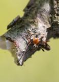 Longhorn Beetles (Cerambycidae)
