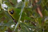 Chlorpseidae - Leafbirds