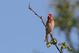Carpodacus erythrinus - Common Rosefinch