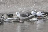 Laris fuscus fuscus - Baltic Gull