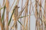 Acrocephalus arundinaceus - Great Reed Warbler