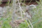 Acrocephalus dumetorum - Blyth's Reed-Warbler