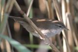 Cettia cetti - Cetti's Warbler