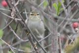 Phylloscopus Borealis _ Arctic Warbler