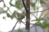 Phylloscopus proregulus- Pallas's Leaf Warbler