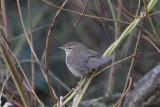 Phylloscopus fuscatus - Dusky Warbler