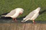 Black-headed Gull W[JMY0]