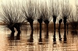 Pollard willows at high tide in 'de Biesbosch NP'