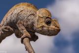 Ostalet's Chameleon  2