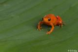 Golden Mantella Frog  1