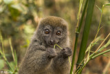 Bamboo Lemur, Andasibe  2