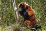 Red Ruffed Lemur, Andasibe  3