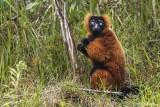 Red Ruffed Lemur, Andasibe  2