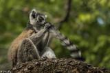 Ringtail Lemur, Mandrare  2