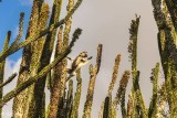 Verreaux's Sifaka, Spiny Forest, Mandrare River Camp  8