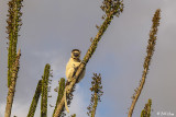 Verreaux's Sifaka, Spiny Forest, Mandrare River Camp  4