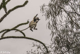 Verreaux's Sifaka, Spiny Forest, Mandrare River Camp  9