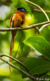 Paradise Flycatcher, Nosy Mangabe  1